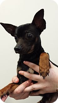 Chihuahua Mix Dog for adoption in Westminster, California - Leprechaun