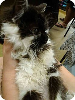 Persian Kitten for adoption in Ludowici, Georgia - Natsumi