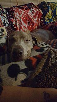 Labrador Retriever Dog for adoption in Council Bluffs, Iowa - Yolo