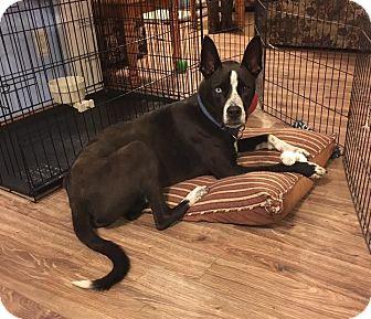 Husky/Border Collie Mix Dog for adoption in Scranton, Pennsylvania - Kobe