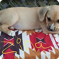 Boxer/Golden Retriever Mix Puppy for adoption in Sussex, New Jersey - Zina