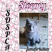 Adopt A Pet :: Stormy *Polydactyl* - Zanesville, OH