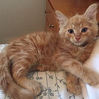 Adopt A Pet :: Opie - Prescott, AZ