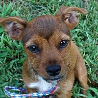 Adopt A Pet :: Veedub - Newark, DE