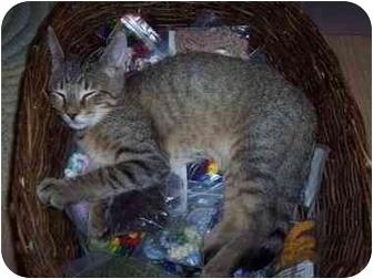 Domestic Shorthair Kitten for adoption in Medina, Ohio - Aaron
