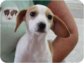 Beagle/Terrier (Unknown Type, Small) Mix Puppy for adoption in New York, New York - Henry (FL)