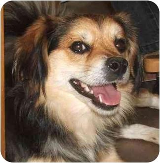 Spaniel (Unknown Type) Mix Puppy for adoption in Davis, California - Homer