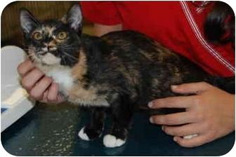 Calico Kitten for adoption in Putnam Hall, Florida - **URGENT**Tootsie