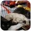 Photo 1 - Siamese Kitten for adoption in San Dimas, California - Siamese Kitten