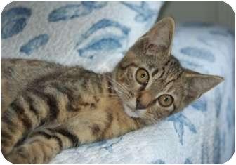 Domestic Shorthair Kitten for adoption in Hendersonville, Tennessee - Kendra