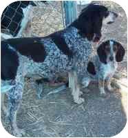 Bluetick Coonhound Dog for adoption in Lexington, Missouri - Lady