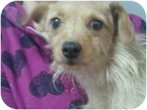 Terrier (Unknown Type, Small) Mix Dog for adoption in Yelm, Washington - Lady GAGA