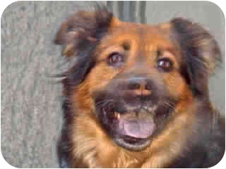 Collie/German Shepherd Dog Mix Dog for adoption in New York, New York - Ronnie