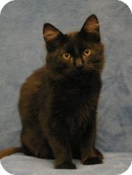 Domestic Mediumhair Cat for adoption in Sacramento, California - Jake