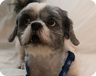 Shih Tzu Mix Dog for adoption in Mt. Prospect, Illinois - Yogi