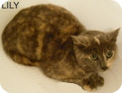 Domestic Shorthair Cat for adoption in Olmsted Falls, Ohio - Lily-Dilute Tort