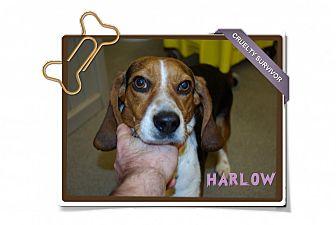 Beagle Dog for adoption in Portland, Oregon - Harlow