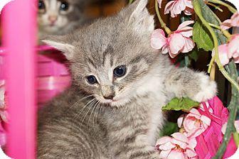 Domestic Shorthair Kitten for adoption in Berlin, Connecticut - Darma