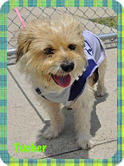 Norfolk Terrier Mix Dog for adoption in Corpus Christi, Texas - Tucker