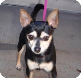 Chihuahua Mix Dog for adoption in Corona, California - Lone Ranger