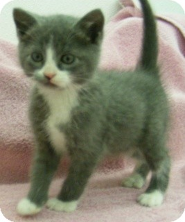 Domestic Shorthair Kitten for adoption in Olive Branch, Mississippi - Danny