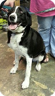Border Collie Mix Dog for adoption in Kansas City, Missouri - Woody - Always happy!