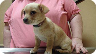 Corgi/Pekingese Mix Puppy for adoption in Grass Valley, California - Dottie