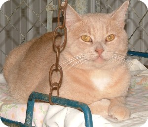 Domestic Shorthair Cat for adoption in Savannah, Missouri - Waldo