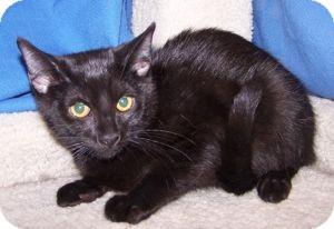 Domestic Shorthair Kitten for adoption in Colorado Springs, Colorado - K-Alice5-Samba