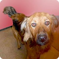Adopt A Pet :: Goldie URGENT - Sacramento, CA