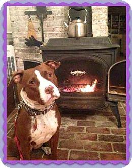 Pit Bull Terrier/Labrador Retriever Mix Dog for adoption in Sterling, Massachusetts - Honey