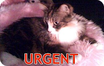 Maine Coon Cat for adoption in Oakland, California - Lacey-URGENT