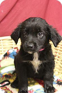 Labrador Retriever Mix Puppy for adoption in Waldorf, Maryland - Tonya