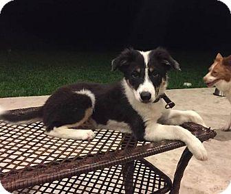 Border Collie Puppy for adoption in Allen, Texas - Walker