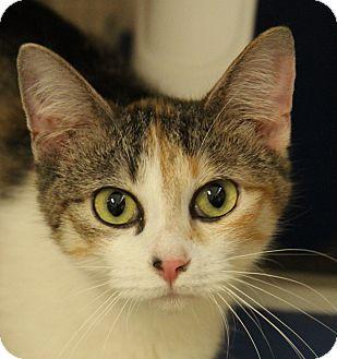Domestic Shorthair Cat for adoption in O Fallon, Illinois - Callie