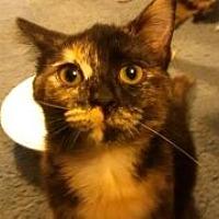 Domestic Shorthair Kitten for adoption in Saint Albans, West Virginia - Eva
