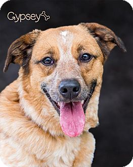 Australian Cattle Dog/Blue Heeler Mix Dog for adoption in Somerset, Pennsylvania - Gypsy