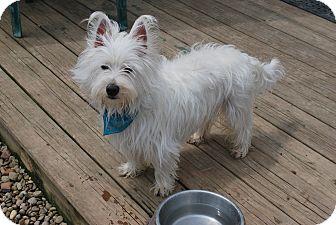Westie, West Highland White Terrier Mix Dog for adoption in Berea, Ohio - Sammie