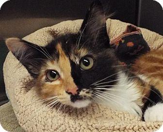 Domestic Shorthair Kitten for adoption in Grants Pass, Oregon - Heart