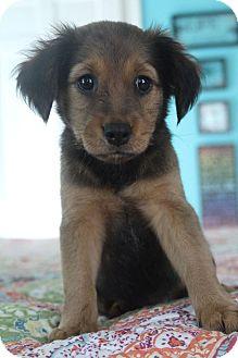 Golden Retriever/Labrador Retriever Mix Puppy for adoption in Staunton, Virginia - Somerset