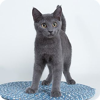 Domestic Shorthair Kitten for adoption in Wilmington, Delaware - Linkon