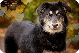 Australian Shepherd/German Shepherd Dog Mix Dog for adoption in Cincinnati, Ohio - Regina