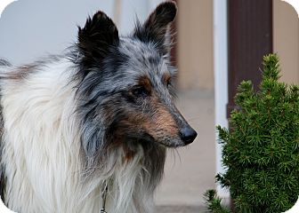 Sheltie, Shetland Sheepdog Dog for adoption in Salem, West Virginia - Hunter