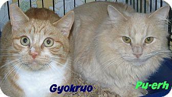Domestic Shorthair Cat for adoption in Menomonie, Wisconsin - Gyokruo