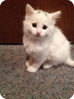 Domestic Mediumhair Kitten for adoption in Byron Center, Michigan - Topaz