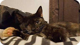 Domestic Shorthair Kitten for adoption in Bensalem, Pennsylvania - Reggie