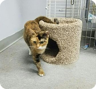 Domestic Shorthair Cat for adoption in Hollywood, Florida - shelly