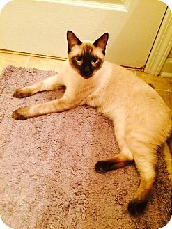 Siamese Cat for adoption in Buford, Georgia - Cooper