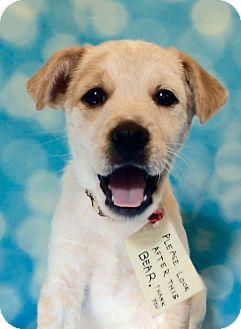 Cattle Dog/Labrador Retriever Mix Puppy for adoption in Lakeland, Tennessee - Paddington