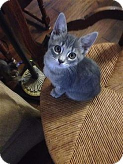 Domestic Shorthair Kitten for adoption in Rocklin, California - Shnookie and Chiquitita